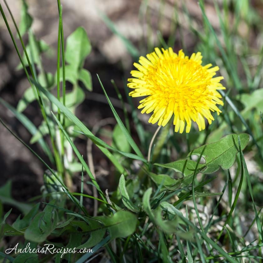 Dandelions_042514_3